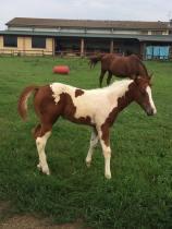 equitech-international-barrel-paint-horses-puledro