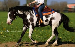 STALLONE PAINT HORSE • MOONBEAM DAZZLE (2011)