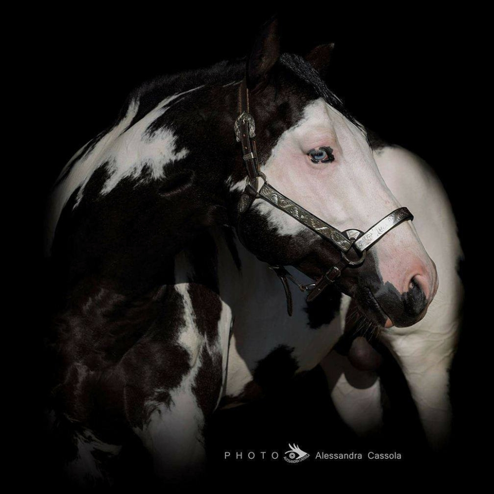 STALLONE PAINT HORSE • MOONBEAM DAZZLE (2011)