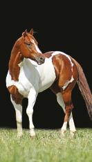 mean-ole-man-race-paint-horse-stallion