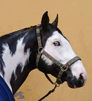 paint_horse_black_overo_stallion_moonbeam_dazzle_head