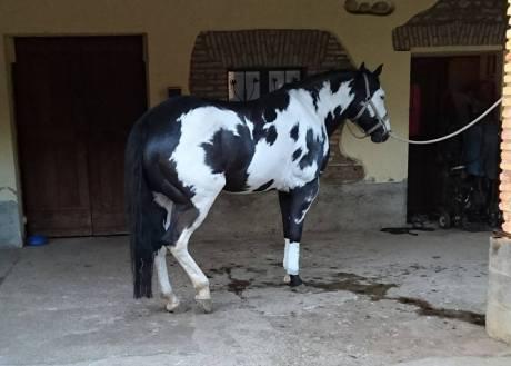 paint_horse_black_overo_stallion_moonbeam_dazzle_right