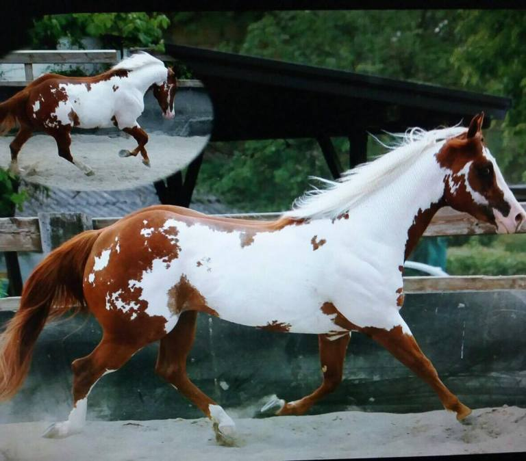 blu_cloud_rumors_stallion_paint_horse_overo_right