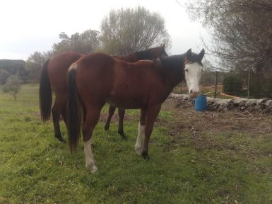 LITTLE-PALOUSE-DUN-Paint-Horse-Reining-Overo-Filly-Paddock-Right