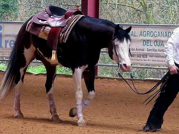 VALLES-LITTLE-PEPPY-American-Paint-Horse-Stallion