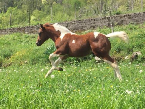 puledro-paint-horse-a2