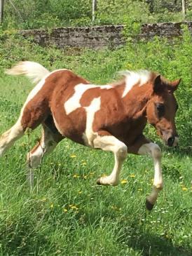 puledro-paint-horse-a3