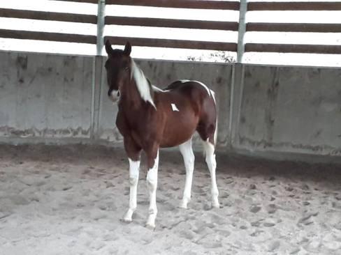 red-loop-puledro-pain-horse-4
