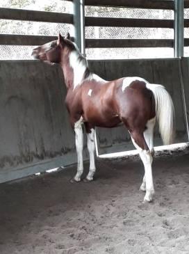 red-loop-puledro-paint-horse-2