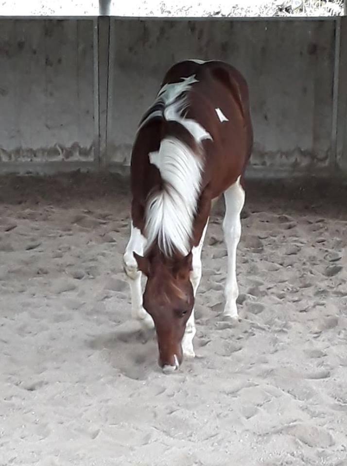 red-loop-puledro-paint-horse-3