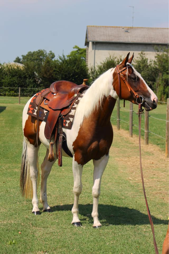 sophie dry king performance bay tobiano paint horse mare 2016 for sale face right