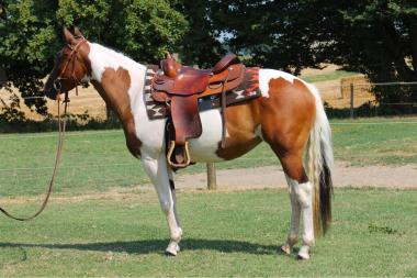 sophie dry king performance bay tobiano paint horse mare 2016 for sale left 2