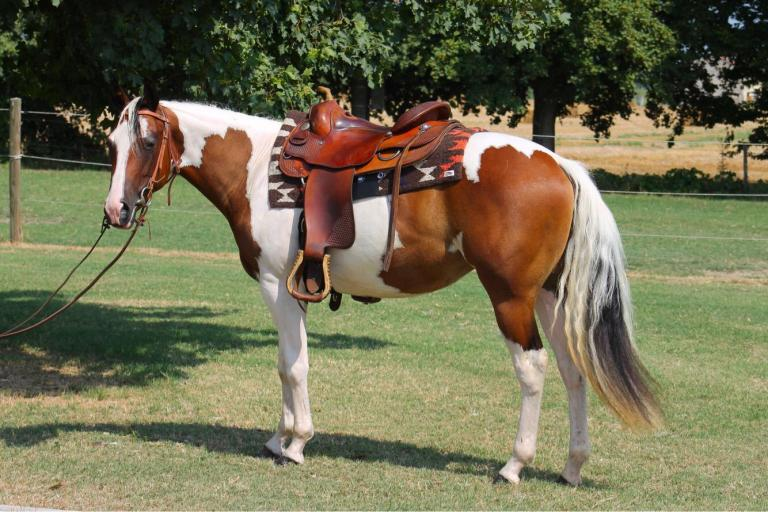 sophie dry king performance bay tobiano paint horse mare 2016 for sale left