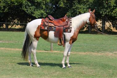 sophie dry king performance bay tobiano paint horse mare 2016 for sale right