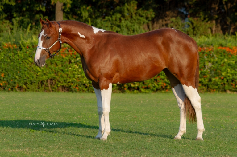 2016 APHA Tobiano Sorrel Mare  Futurity prospect  Sire- Sun Wimpys Willy Dam- HB Luna Lanx  EUR 8.000.jpg