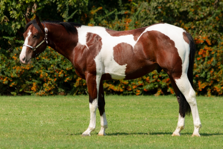 PEPPY SUN THYNE MR 2016 APHA Tobiano Bay Stallion  Futurity prospect  Sire- Sun Wimpys Willy Dam- AG Peppys Valentine   NRHA Nominated   Trattativa privata.jpg