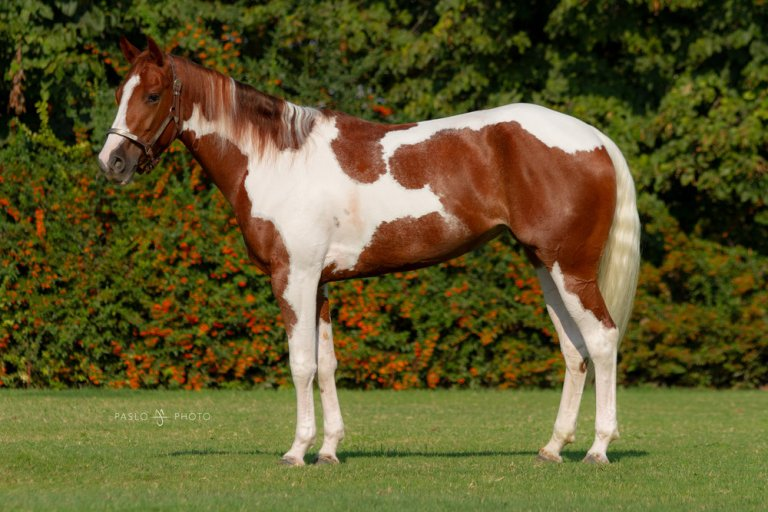 LOST AND HAPPY 2015 APHA Tobiano Sorrel Mare Ready to show Sire- Listogun Dam- AB Happynewyear